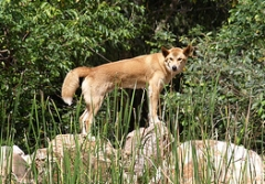 dingo on the look out at the Territory Wildlife Park