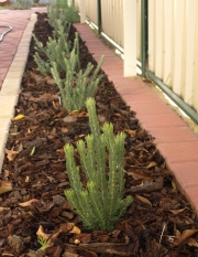 newly planted row of woolly bushes