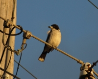 grey butcherbird catching the sunset on the electricity line