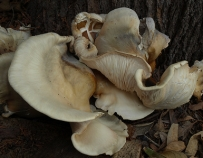 rippling white fungi growing from a grevillea stump