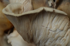 gills of the rippling white fungi