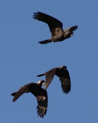 Carnaby's black cockatoos flying over Herdsman Lake by Ian