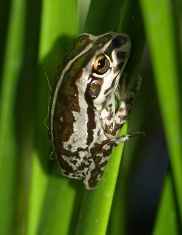 motorbike frog in the reeds