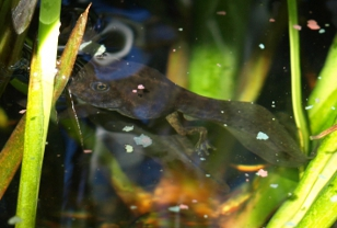 tadpole growing legs