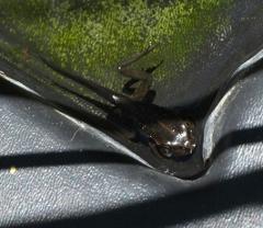 tadpole metamorphosing