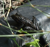 cannibal frog on the hunt in autumn 2011
