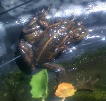 two male frogs trying to mate in spring 2012