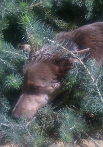 Cider the dog napping among the woolly bushes