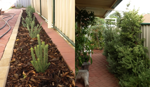 woolly bush hedge then and now
