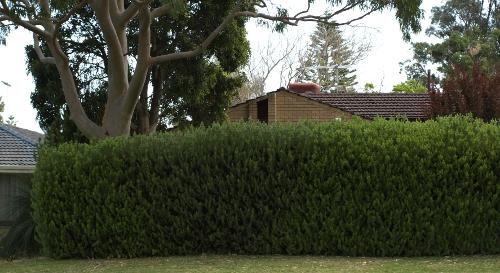 Albany woolly bush hedge in my neighbourhood