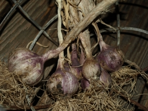 garlic drying from a past harvest