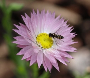 hoverfly on an everlasting daisy last spring