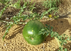 ripening watermelon growing in sand