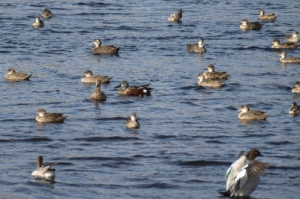 waterbirds on the lake in winter