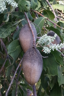 woody pear seed pods on the tree