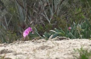 hidden flowers in the dunes