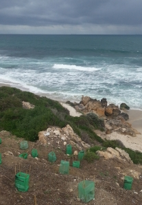 coastcare planting on the dunes last winter