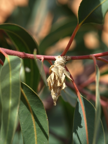leaf case moth crawling along a branch of the illyarrie gum tree