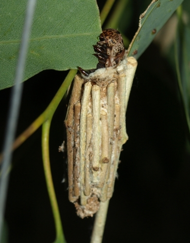case moth feeding on tuart. one stick on the case is longer than the rest