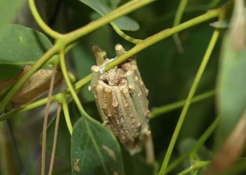 case moth hidden in the cocoon