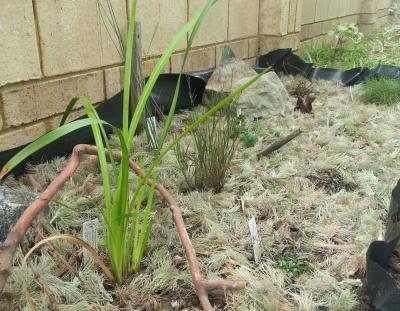 the bog garden after mulching