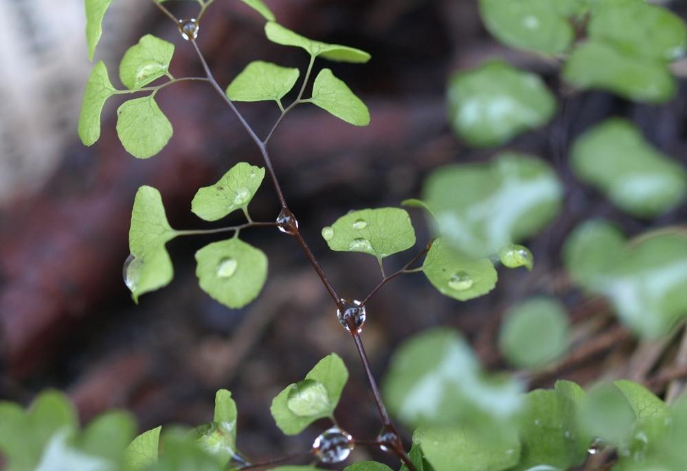 Maidenhair fern after rain