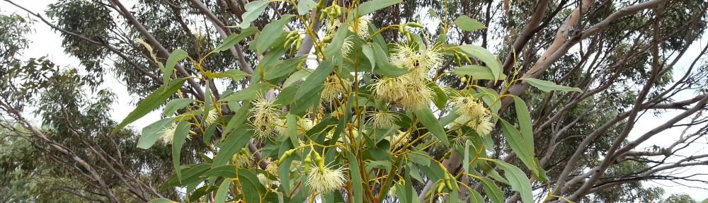 Eucalyptus petrensis