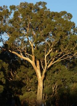 Eucalyptus rudis at sundown