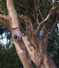 galahs in Eucalyptus rudis with a hollow branch used for nesting