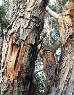 rough bark on the lower branches of Eucalyptus rudis