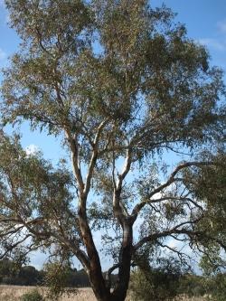 growth habit of Eucalyptus rudis