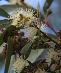 flowers of Eucalyptus rudis