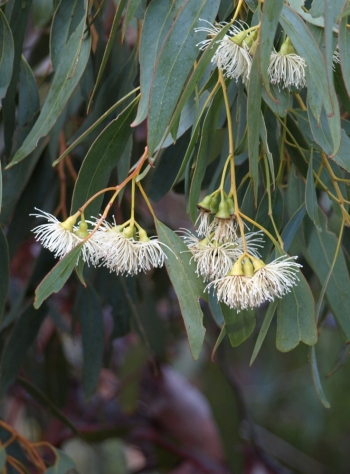 flowers of Eucalyptus petrensis