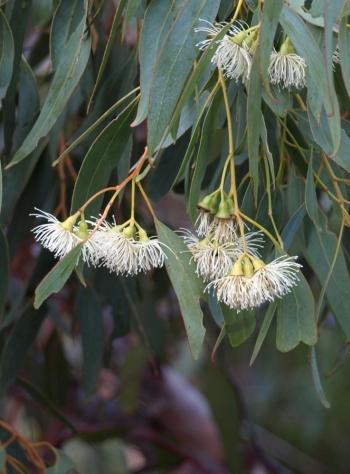 flowers of Eucalyptus petrensis