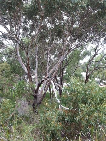 growth habit of Eucalyptus petrensis