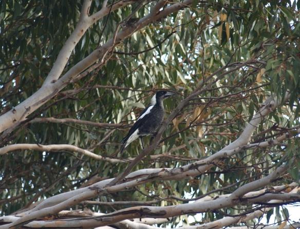 magpie in Eucalyptus petrensis