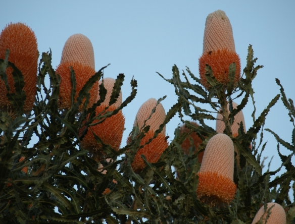 flowers of Banksia prionotes