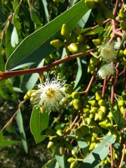 bud caps of Eucalyptus rudis with first flowers of the season