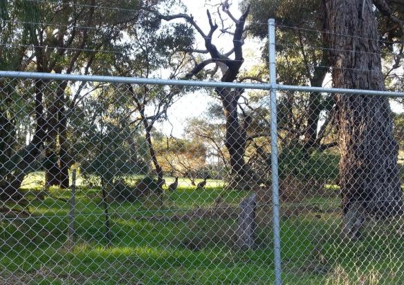 kangaroos feeding behind the fence
