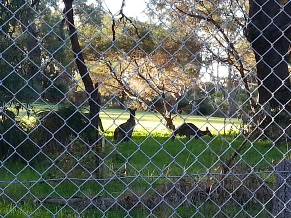 kangaroos watching me intently