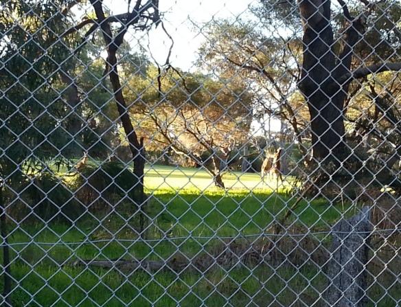 kangaroos sparring