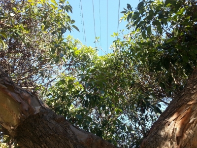 my street tree under the power lines