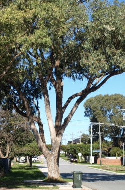 an old tuart growing as a street tree in my suburb
