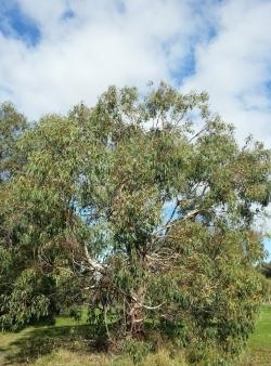 Eucalyptus rudis at Lake Gwelup