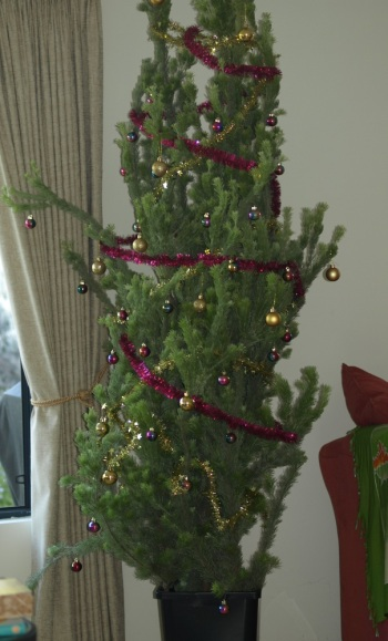 Christmas tree of Albany Woolly Bush branches