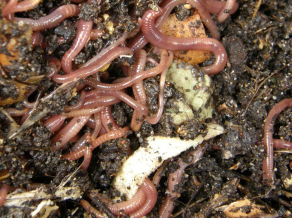 earthworms disturbed by aeration of the compost