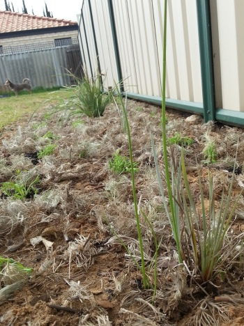 newly planted and mulched