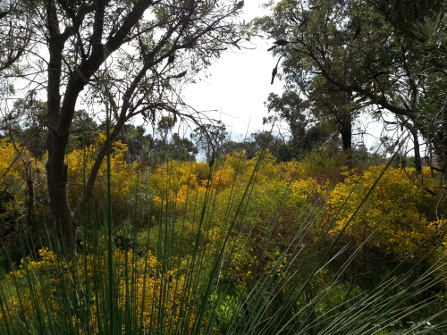 the bushland aflame with winter wattle
