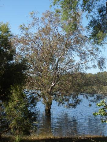 inundated flooded gum
