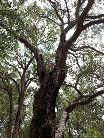 marri trunk